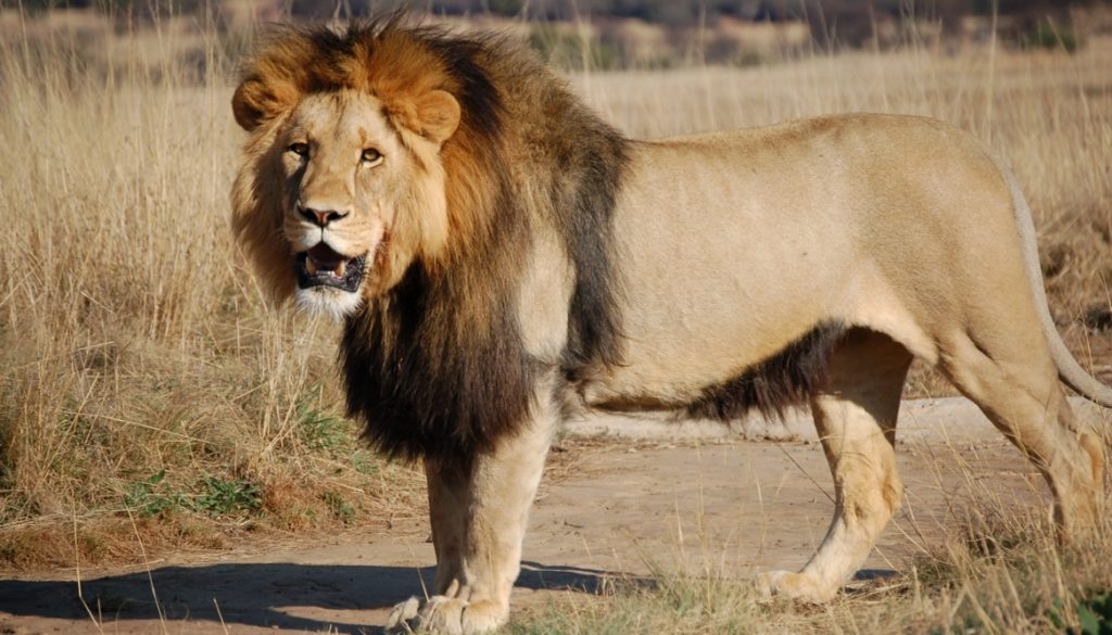 BLACK MANED LION - ZIMBABWE
