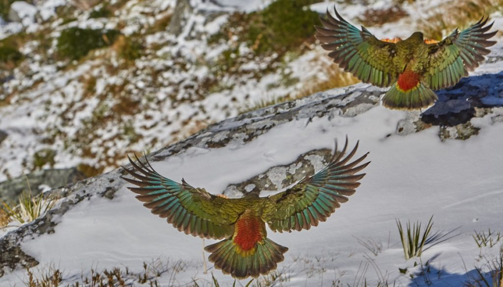 NEW ZEALAND KEA BIRDS